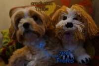 Trules Mixed Breed